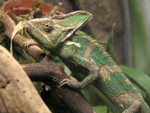 Yemen chameleon Stock Images