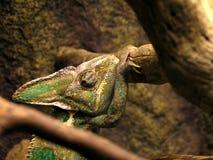 Yemen chameleon. Close-up view of Yemen chameleon (Chamaeleo calyptratus Stock Image