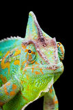 Yemen Chameleon. Yemen or Veiled Chameleon sitting on a cactus leaf Royalty Free Stock Photography