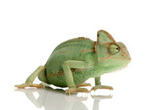 Yemen Chameleon. In front of a white background Stock Photo
