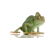 Yemen Chameleon. In front of a white background Royalty Free Stock Image