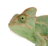 Yemen Chameleon. Close-up on a Yemen Chameleon in front of a white background and looking at the camera Stock Image