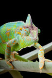 Yemen Chameleon Royalty Free Stock Images
