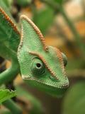 Yemen chameleon Royalty Free Stock Image