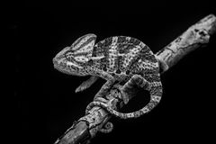 Yemen chameleon Stock Photos