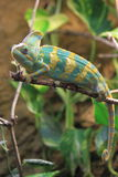 Yemen chameleon. On the branch Stock Photo