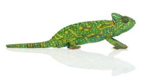 Yemen chameleon - Chamaeleo calyptratus -. Isolated on white Royalty Free Stock Photos