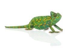 Yemen chameleon - Chamaeleo calyptratus - Royalty Free Stock Image