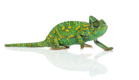 Yemen chameleon - Chamaeleo calyptratus - Stock Image