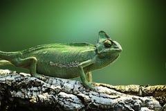 Yemen Chameleon exotic nature reptile isolated green background animal stock photo