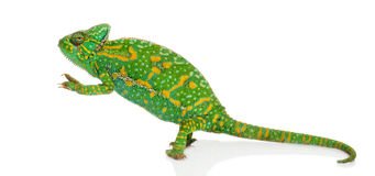 Yemen chameleon on hind legs - Chamaeleo calyptratus - isolated Stock Photos