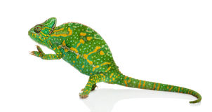 Yemen chameleon on hind legs - Chamaeleo calyptratus - isolated Stock Photo