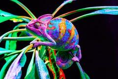 Yemen chameleon isolated on black background Royalty Free Stock Images