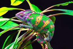 Yemen chameleon isolated on black background Royalty Free Stock Photos