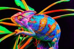 Yemen chameleon isolated on black background Stock Image