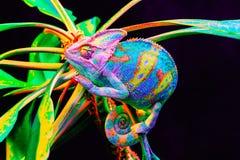 Yemen chameleon isolated on black background Royalty Free Stock Photography