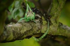 Yemen chameleon lizard. Royalty Free Stock Photos