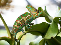 Yemen chameleon. Male Yemen chameleon, Czech Republic Stock Photography