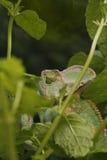 Yemen chameleon. Male yemen or veiled chameleon amongst plants Stock Photos