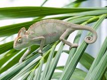 Yemen chameleon. In the palm-tree Stock Images