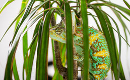 Yemen Chameleon. Picture of a cone headed Yemen chameleon climbing a small tree royalty free stock images