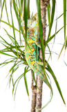 Yemen Chameleon. Picture of a cone headed Yemen chameleon climbing a small tree stock images