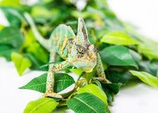 Yemen Chameleon. Picture of a cone headed Yemen chameleon walking on some leaves stock photo