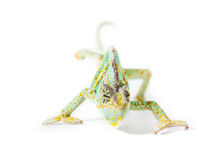 Yemen Chameleon. Picture of a cone headed Yemen chameleon on a white background stock images