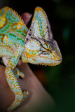 Yemen chameleon. Sit on the hand Royalty Free Stock Photos