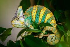 Yemen chameleon. Sits on the tree Royalty Free Stock Images