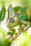 Yemen chameleon Stock Photography