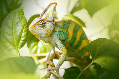 Yemen chameleon. Sits on the tree Royalty Free Stock Photo