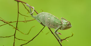 Yemen chameleon Royalty Free Stock Photography