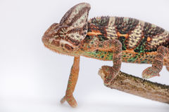 Yemen chameleon Royalty Free Stock Photos