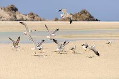 Yemen. Ilha de Socotra. Gaivotas fotos de stock