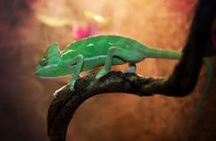 Yemen kameleont i terrarium Royaltyfria Bilder