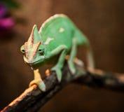 Yemen kameleont i terrarium Royaltyfri Foto