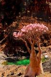 yemen La isla del Socotra Endémico - embotelle el árbol en medio de la floración en su hábitat natural en las montañas Fotografía de archivo
