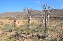 Yemen, the plateau above the gorge Kalesan, bottle tree on Socotra island Royalty Free Stock Images