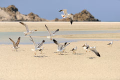 Yemen. Socotraö. Seagulls Arkivfoton