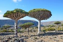 Yemen, Socotra, draakbomen op Diksam-plateau Royalty-vrije Stock Foto
