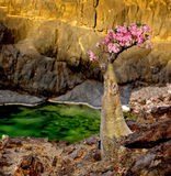 Yemen. Socotra. Endemic bottle tree in bloom. Yemen. The island of Socotra. Bottles of rare endemic tree in pink colors on a rock and lake in the background Stock Photography