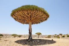 Yemen. Socotra island. Dragon tree Stock Image
