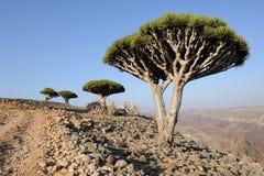 Yemen. Socotra island. Dragon tree Royalty Free Stock Photography