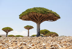 Yemen. Socotra island. Dragon tree Stock Photos