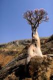 Yemen. Socotra island. Bottle tree Stock Photos