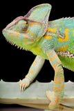 Yemen Veiled Chameleon Stock Photography