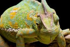 Yemen/Versluierd Kameleon Royalty-vrije Stock Foto