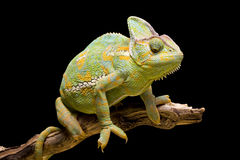 Yemen/Versluierd Kameleon Royalty-vrije Stock Afbeelding