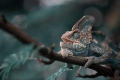 Yemeni chameleon on the branch. Veiled Yemeni chameleon is walking on a tree branch Stock Photography